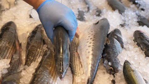 Fresh sea palamida fish placed on ice in the market