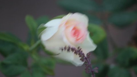 Wind Blows, Never Give Up, I Am With You, Wonderful Scene Of Rose And Tulsi Flowers