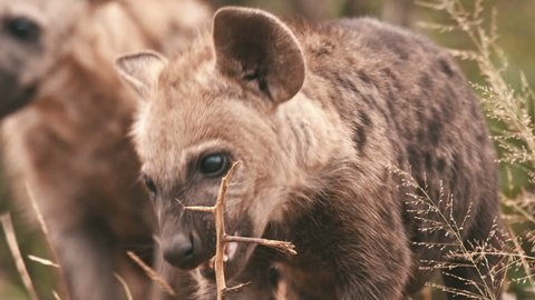 A baby spotted hyena cub chews a stick to sharpen it's teeth. Shot 4K RAW and graded
