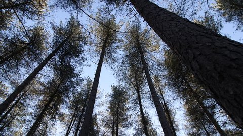 4K Pine tree forest pan up to the woods In UK England, Europe trees from below
