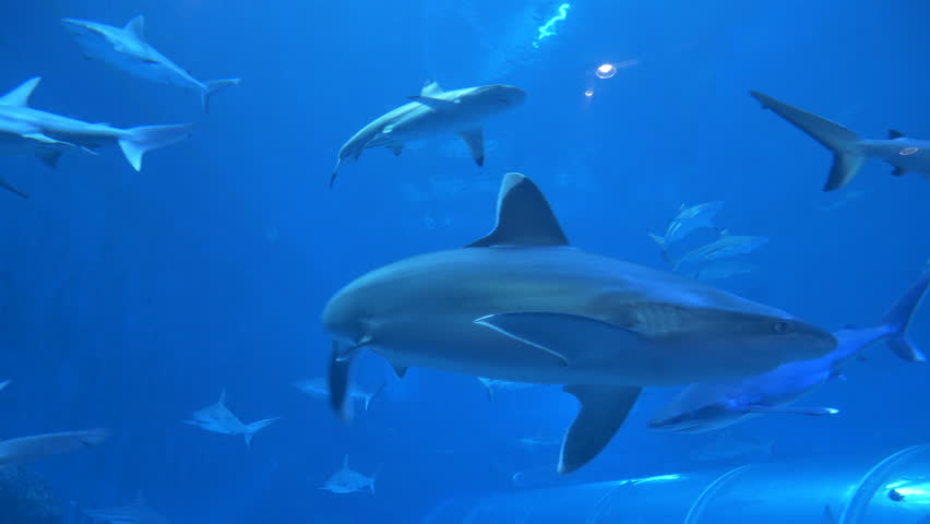 SINGAPORE, OCTOBER 2017: S.E.A Aquarium in Singapore displaying a fish tank full of swimming sharks and other aquatic animals. Big animals confined to life in captivity. Fish swimming among sharks