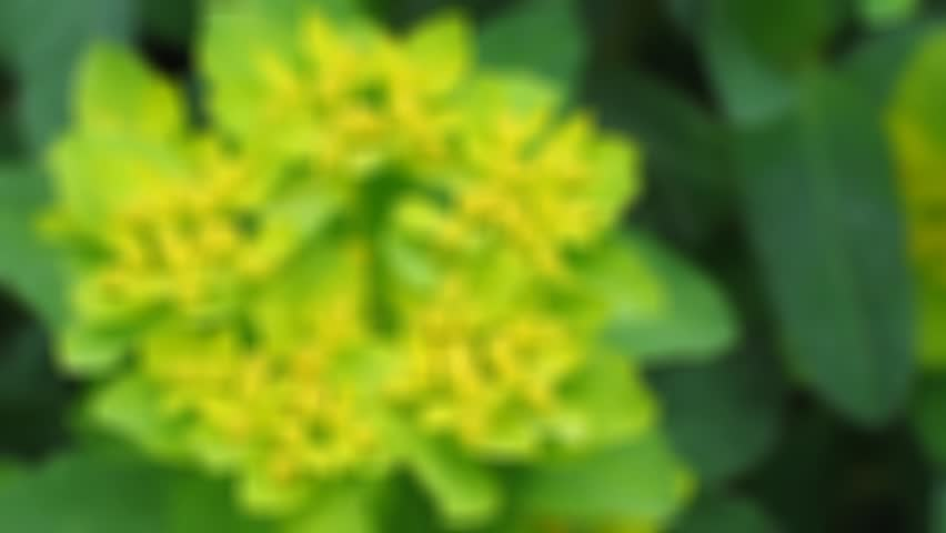 Euphorbia blossom close-up. Natural video with forest flowers detail. Sharping, zooming, detailed stamen and pistil. Botanic name Euphorbia