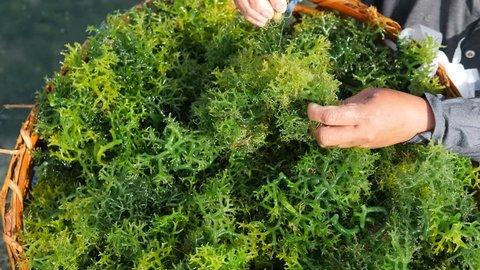 Algae Harvesting at Seaweed Farm Plantation. 4K. Nusa Penida Island, Bali, Indonesia.