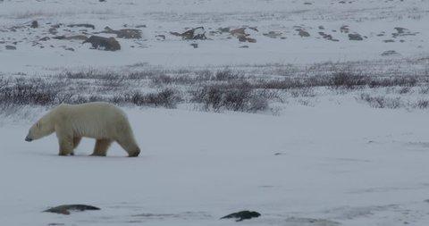 Polar bear walks across snowy tundra and lies down on ice