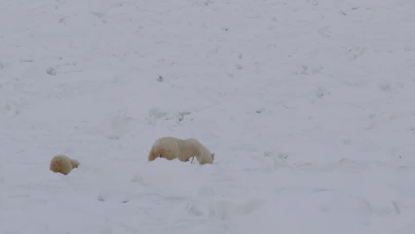 Slow motion - polar bear mum leads baby cub through broken sea ice in arctic