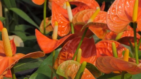 Panning of pink Anthurium (Flamingo flower) in flower field. Nature backgrounds.