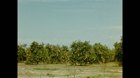 "1940s: Lemon trees heavy with fruit in Florida orchard; homemade intertitle reads ""Thru the citrus groves."""