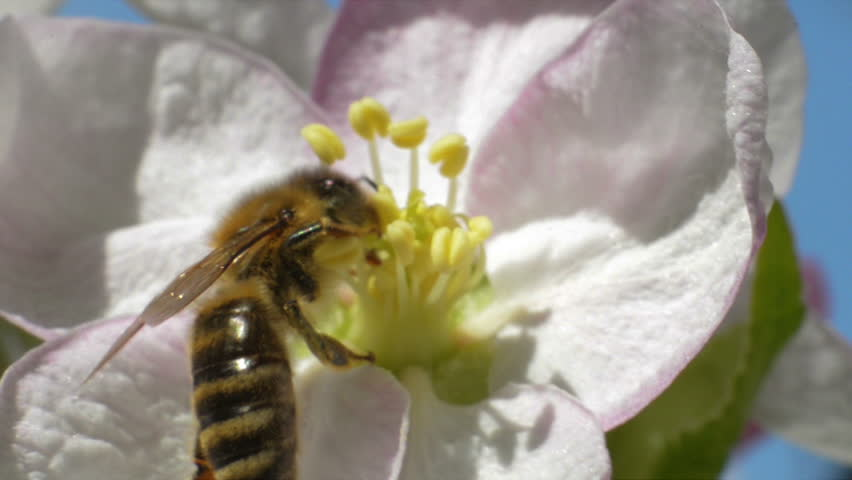 Bee Landing on a White Apple Blossom and Gather Pollen and Nectar. Close-up Shot on a Sunny Spring Clear Day.