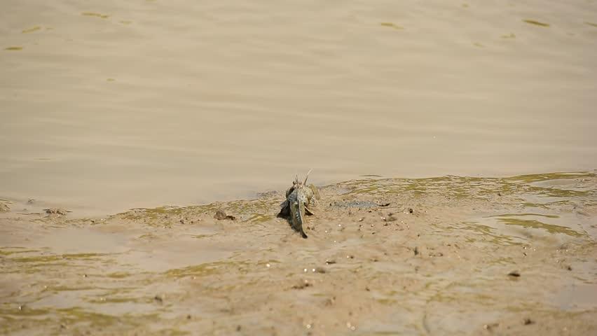 Fighting of mudskippers