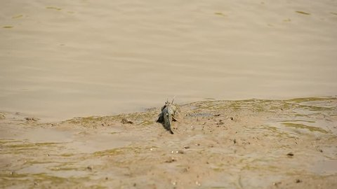 Fighting of mudskippers