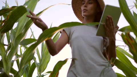 Young Mixed Race Farmer Woman Checking Corn Quality Using Mobile Tablet Gadget at Organic Farm Field. 4K. Future Technology Agricultural Food Harvest Footage Concept.