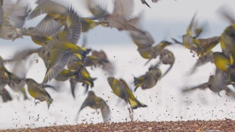 Large flock of birds takes off in a slow motion. Greenfinch, Chloris chloris.