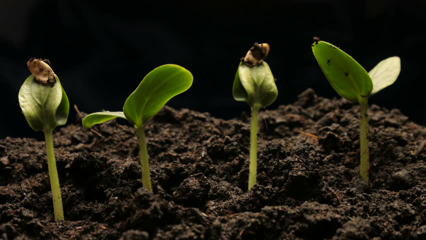 Growing green cucumber plant time lapse. Timelapse growing, Closeup nature shoot. | Shutterstock HD Video #1008489883