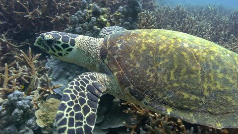Hawksbill turtle swims slowly over a large healthy staghorn coral reef. It comes near to the camera then turns and swims away into deeper water. Small tropical reef fish swim around in the background