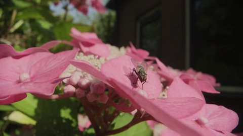 Macro shots using a relay lens or scope in summer on pink flowers of a fly