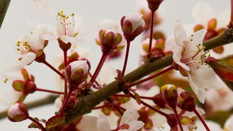 White Flowers Blossoms on the Branches Cherry Tree. Timelapse.