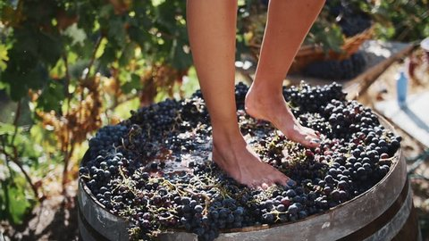Women legs stomping black grapes in wooden shaft at winery making wine, close up sunny summer day outdoors