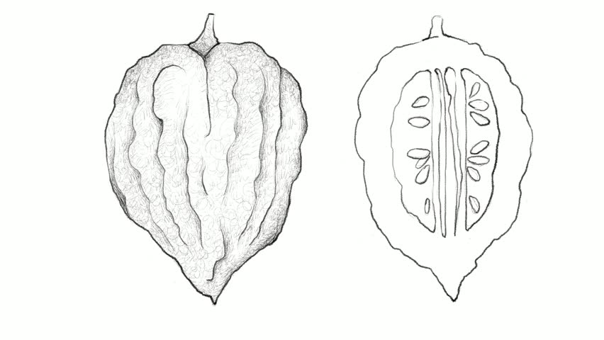 Tropical Fruit, Motion Clip of Illustration Hand Drawn Sketch of Etrog Fruit Isolated on White Background, Essential Nutrient for Life with Vitamin C.