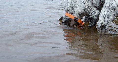 Dog catches a mouthful of seaweed instead of fish - close up slow motion