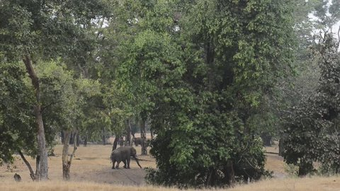 Indian Elephant in the forest at National Park, India