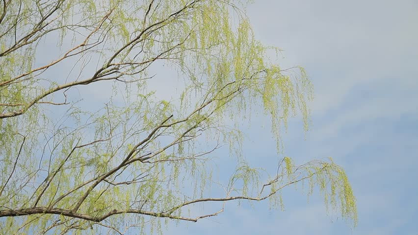 Weeping Willow / Sky | Shutterstock HD Video #1008711793