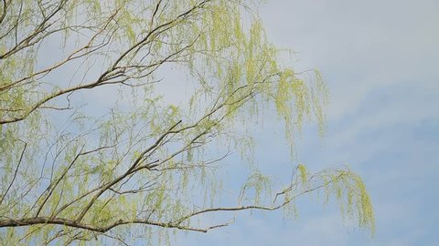 Weeping Willow / Sky