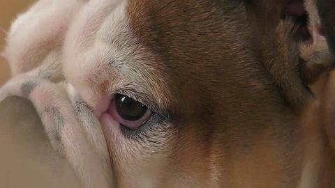 fussy bulldog puppy doesn't like the camera