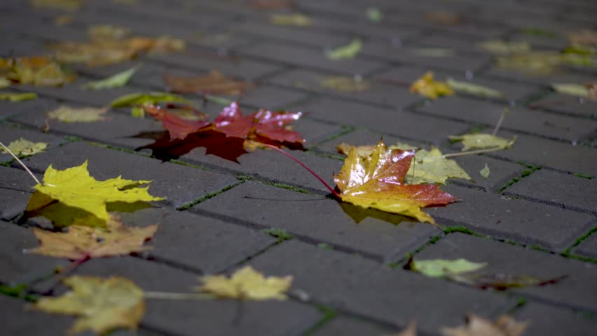 Close up shot of fallen red and brown maple leaves on gray sidewalk