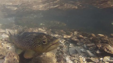 Spawning of brown trout underwater. Underwater footage of a Spawning salmo trutta morpha fario. Live in the river habitat. Underwater mountain creek. Brown trout spawning.