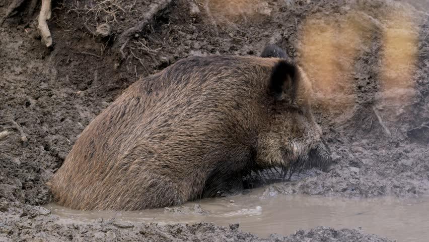 Wild boar (Sus scrofa) searching for food in mud