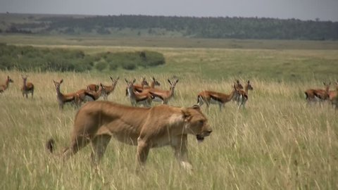 lion passes through a group of group of thompson gazelles