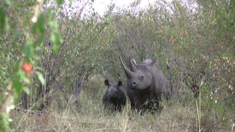 A black rhino and her baby looking at the camera.