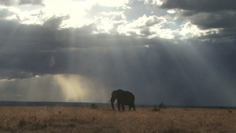 A bull elephant grazing with the rain clouds gathering in the distance.