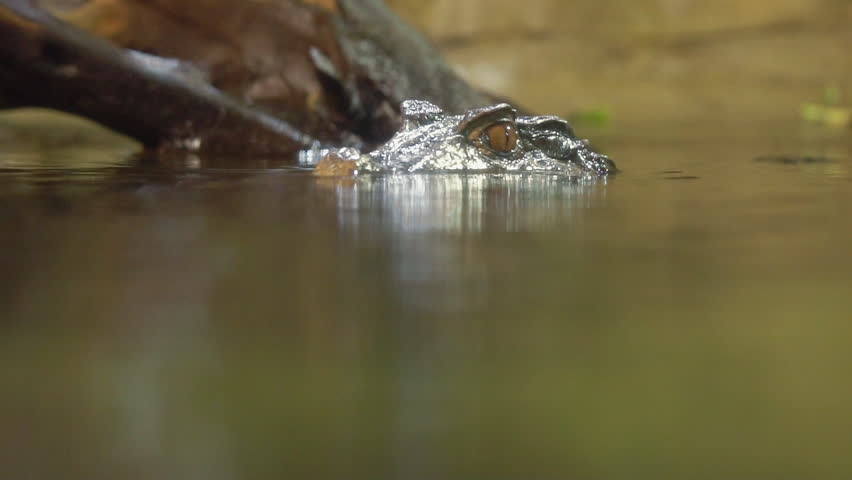 Dwarf Caiman in the water viewing the head above the water and moving below to see the body.