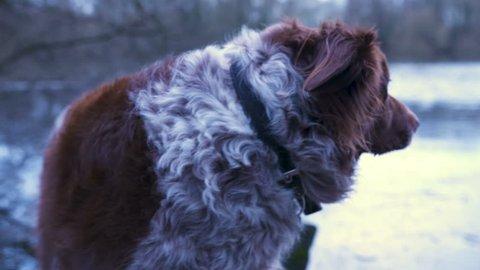 Border Collie. Close Up on fur.