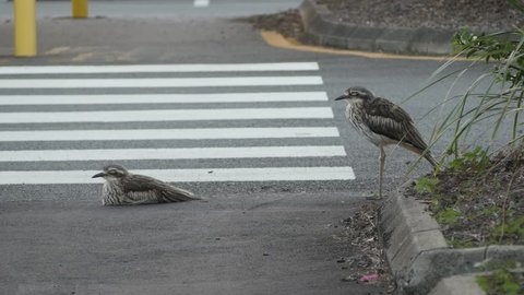 Two Bush Stone-curlew birds in car park with feathers ruffling in the wind