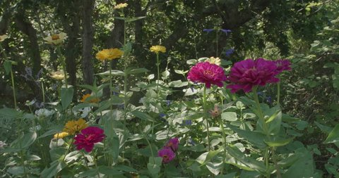 Wide on purple, fuchsia flowers in a woodsy garden with dappled sunlight.