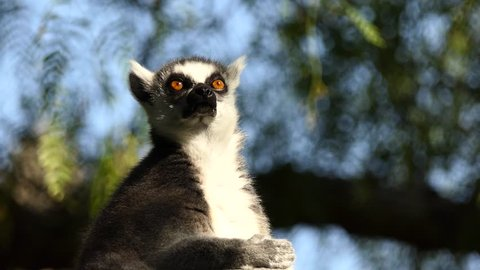 Ring-tailed lemur (Lemur catta) is large strepsirrhine primate and most recognized lemur due to its long, black and white ringed tail. It belongs to Lemuridae and is only member of Lemur genus.