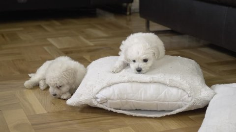 Beautiful three bichon puppies enjoying on white pillow at floor, close up. Two cute baby dogs playing and new one coming and starts to nibbling brother or sister doggy. Little pets in funny game.