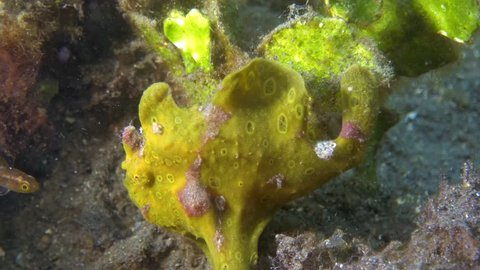 Frogfish catching a prey.
