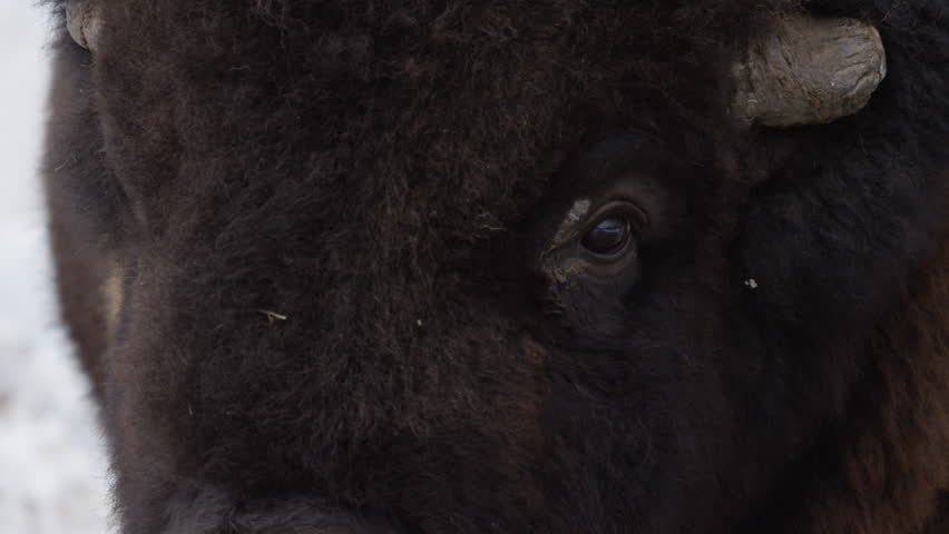 Bison extreme close up side of face