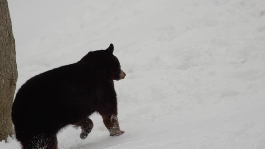 Black bear running in the snow | Shutterstock HD Video #1008992093