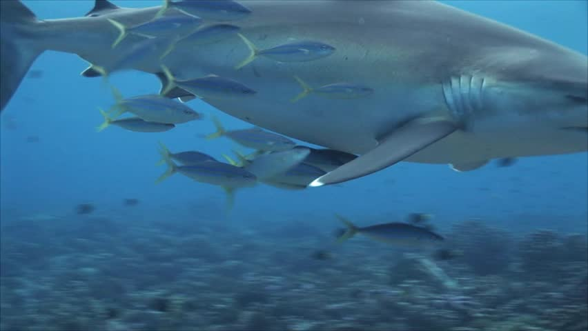Silvertip shark on a coral reef chased by big eye jackfish/trevallies in clear water of the south pacific ocean, french polynesia | Shutterstock HD Video #1009055843