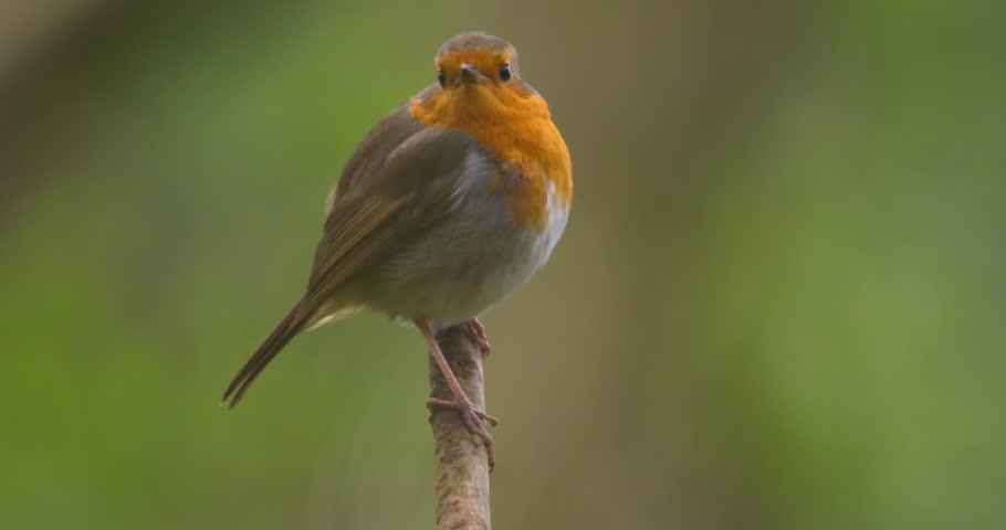 Robin bird perched on tree branch fly away slow motion