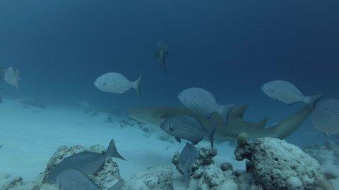 Tawny nurse shark swims in school of Brassy Chub over sandy bottom