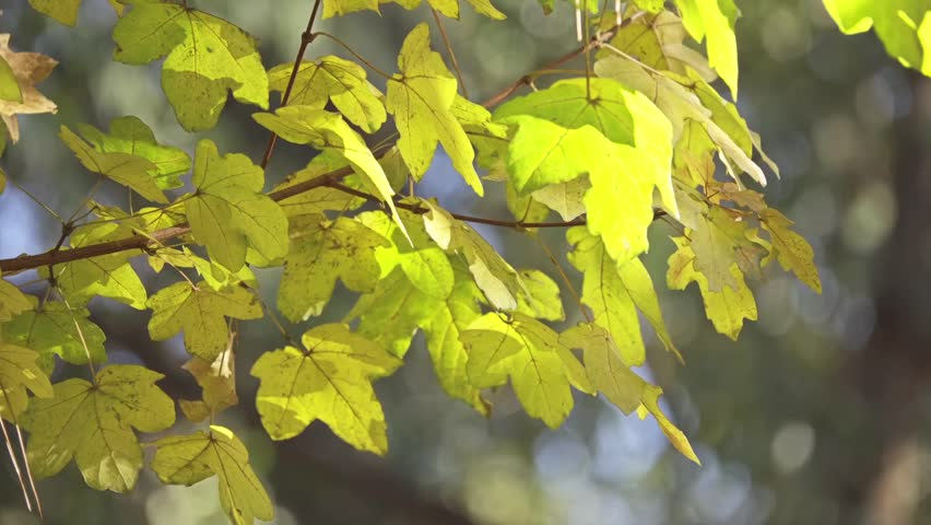Acer Campestre Known As Field Stock Footage Video 100 Royalty
