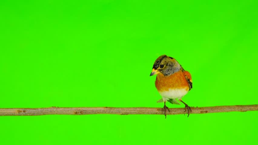 male Brambling (Fringilla montifringilla) sits on a branch isolated on a green screen