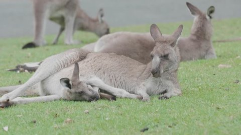 Young Kangaroo in mother's pouch, Recorded in the wild