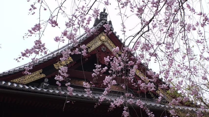 UENO,  TOKYO,  JAPAN - CIRCA MARCH 2018 : SAKURA (Cherry blossom) in UENO PARK.   Shutterstock HD Video #1009229003