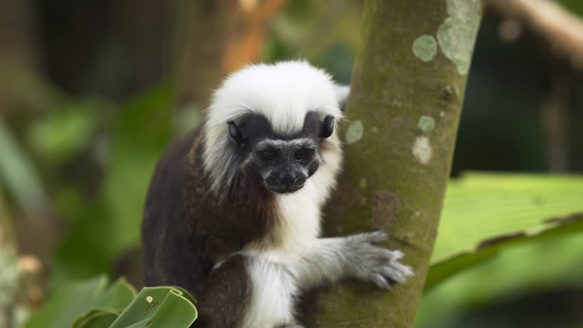 The cotton-top tamarin (Saguinus oedipus) in the forest. Stock footage in 4k resolution